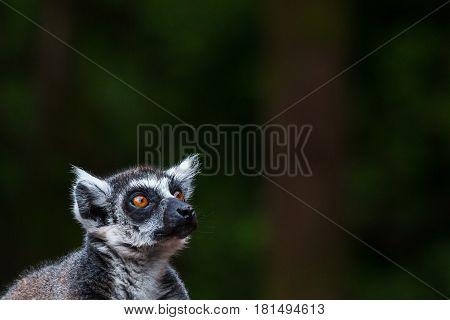 A ring-tailed lemur gazes skyward against a dark background