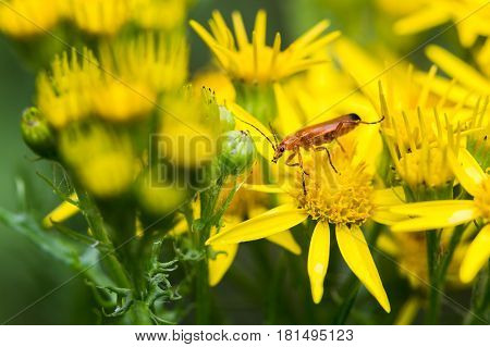 Common Red Soldier Beetle Between Oxford Ragwort Flowers