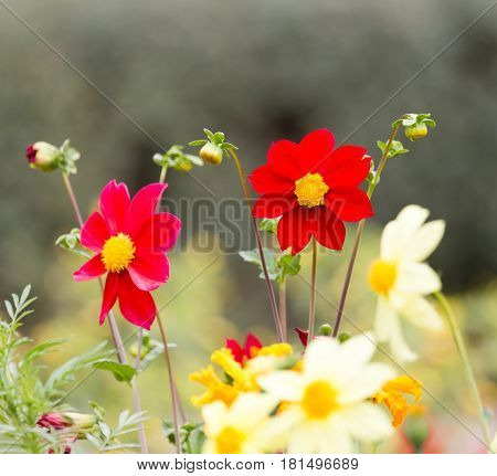 beautiful red flower in nature . A photo
