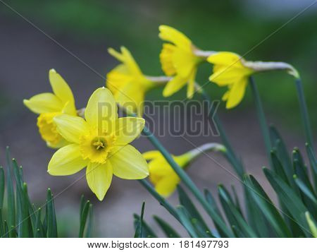 The beautiful yellow flowers grow in the garden