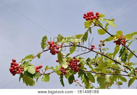 Berry of ripe red wild rowan on branch closeup.