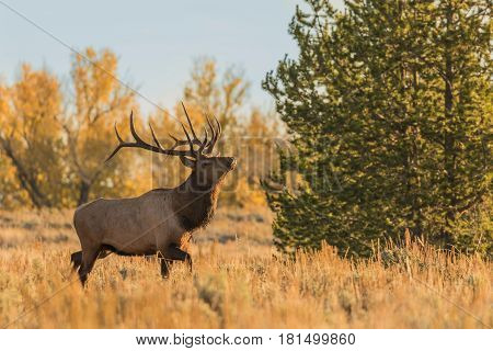 a bull elk during the fall rut in Wyoming