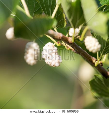 white mulberry tree in nature . A photo