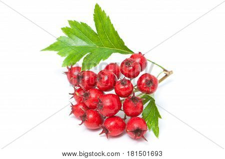 Hawthorn Berries With Leaves