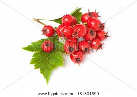 Juicy Berries Of Hawthorn With Leaves