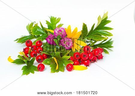 Red Berries Of Hawthorn, Clover And Flowers