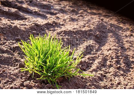 Bush of green grass against the background of plowed land backlighting