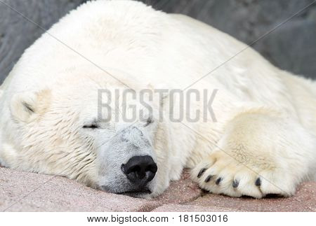 Polar bear ( Ursus maritimus ) close up image