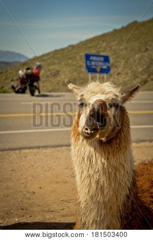 A crazy llama in the mountains in Tucuman, Argentina