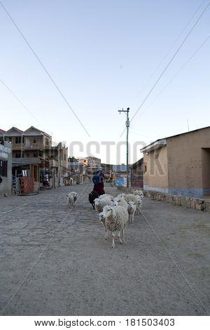 Some llamas walking on