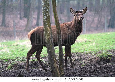 Beautiful brown fawn close up image .