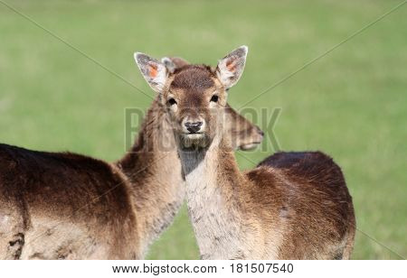 Beautiful Fawn animals close up image .