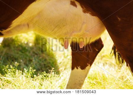 Detailed Closeup Of Cow Udder
