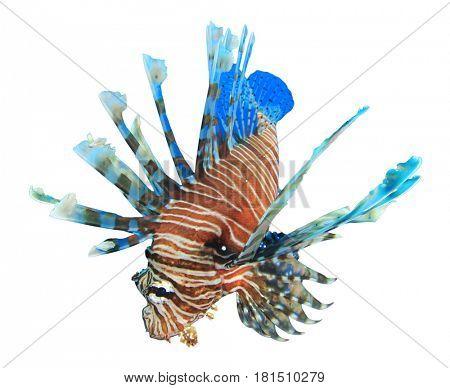 Lionfish fish isolated on white background