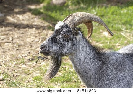 Gray goat with big horns close up image .