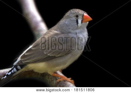 Zebra finch perched on branch close up image .