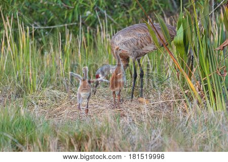 Sandhill crane adult with two babies also known as colts