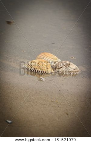 Seashells and scallop on sand at beach by sea summer and vacation time