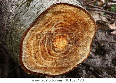 The alder trunk is sawn. On a cut of slightly orange color bark and wood rings are visible.