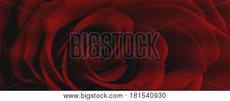 Rose. Red Rose. Rose background.Abstract rose background, red abstract. Flower. Red flower. Red background. Love background. Passion background.