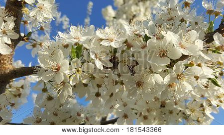 Spring background with white flowers on a tree branch.