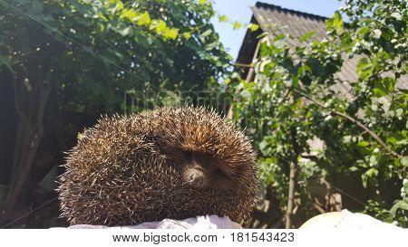 Young hedgehog sleeping in nature. Hedgehog in spring