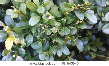 Lush foliage of growing bushes. Natural green texture