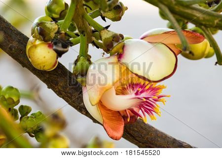Cannonball Tree In Bloom