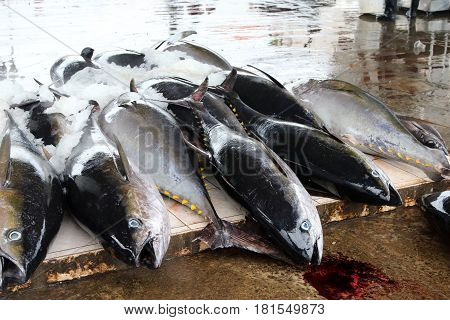 Frozen blue fin tunas lying on the floor waiting to be transported by the auction winners at Lellama Fish Market in Negombo Sri Lanka