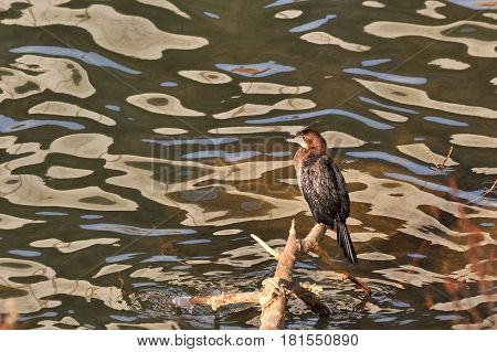 Pygmy Cormorant, Phalacrocorax pygmaeus sitting on branch over the river coast