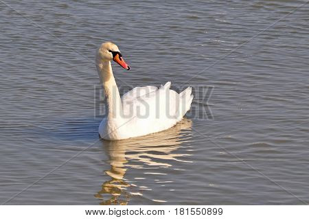 Beautiful swan in Danube river in Belgrade, Serbia , Serbia. Swan with reflection in water