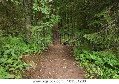 Nature path walkway in deep forest Estonia