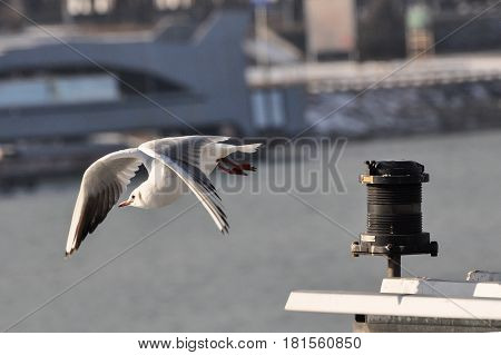 Beautiful Seagull flying in the sky. seagull fly