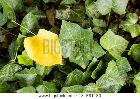 A single yellow leaf on a deck of green leaves