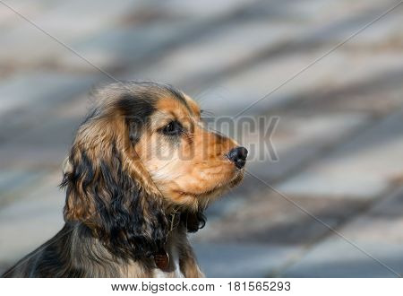 Sable coloured female English Show Cocker Spaniel puppy aged four months.