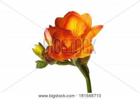 Orange Freesia flower isolated on white background