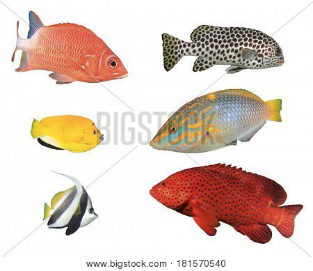 Tropical reef fish isolated on white background. Squirrelfish, Sweetlips, Angelfish, Wrasse, Bannerfish, Butterflyfish, Grouper fish.