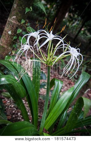 Closeup image of Hymenocallis white flower with green leaves in the rain forest of Khao Sok sanctuary, Thailand