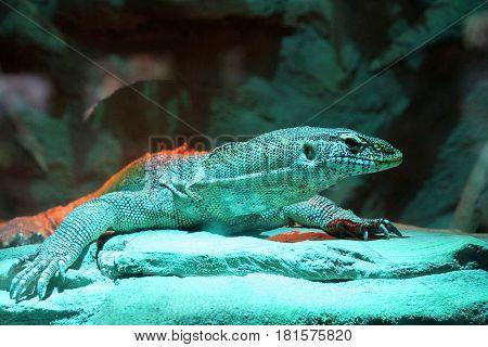 A large lizard in a glass terrarium