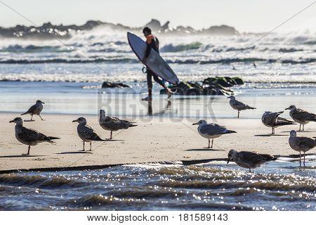 Mews flock on the Atlantic Ocean beach in Porto Portugal poster