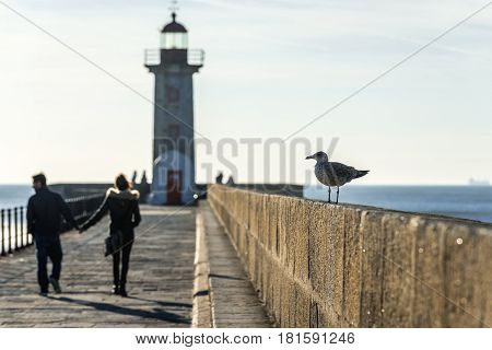 Mew on a breakwater with Felgueiras Lighthouse in Porto Portugal poster