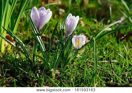 Beautiful purple and white flowers crocus on springtime