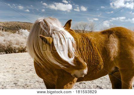 Brabancon Belgian Horse On The Farmland, Alsace, France. Infrared Portrait.