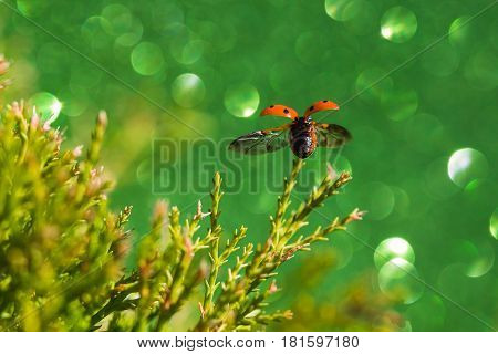 A ladybird takes off from a garden shrub near Liverpool during the summer. A green coloured glitter card was placed behind the subject creating a sea of bokeh.