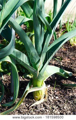 Organic Leeks Growing in the Vegetable Garden