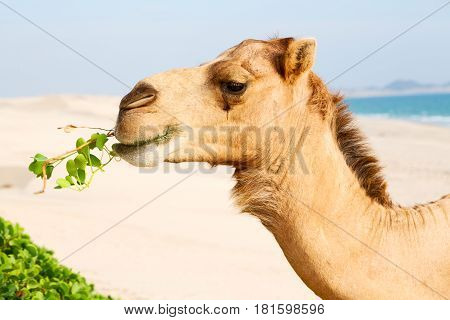 In Oman E  Free Dromedary Near