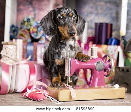 Dachshund dog in a tie and sewing machine, tailor for dogsFashion designer