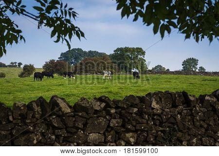Field Of Cattle