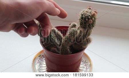 a young man touches a cactus, ouch, it very hurts