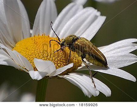 Hornet on Daisy-Macro